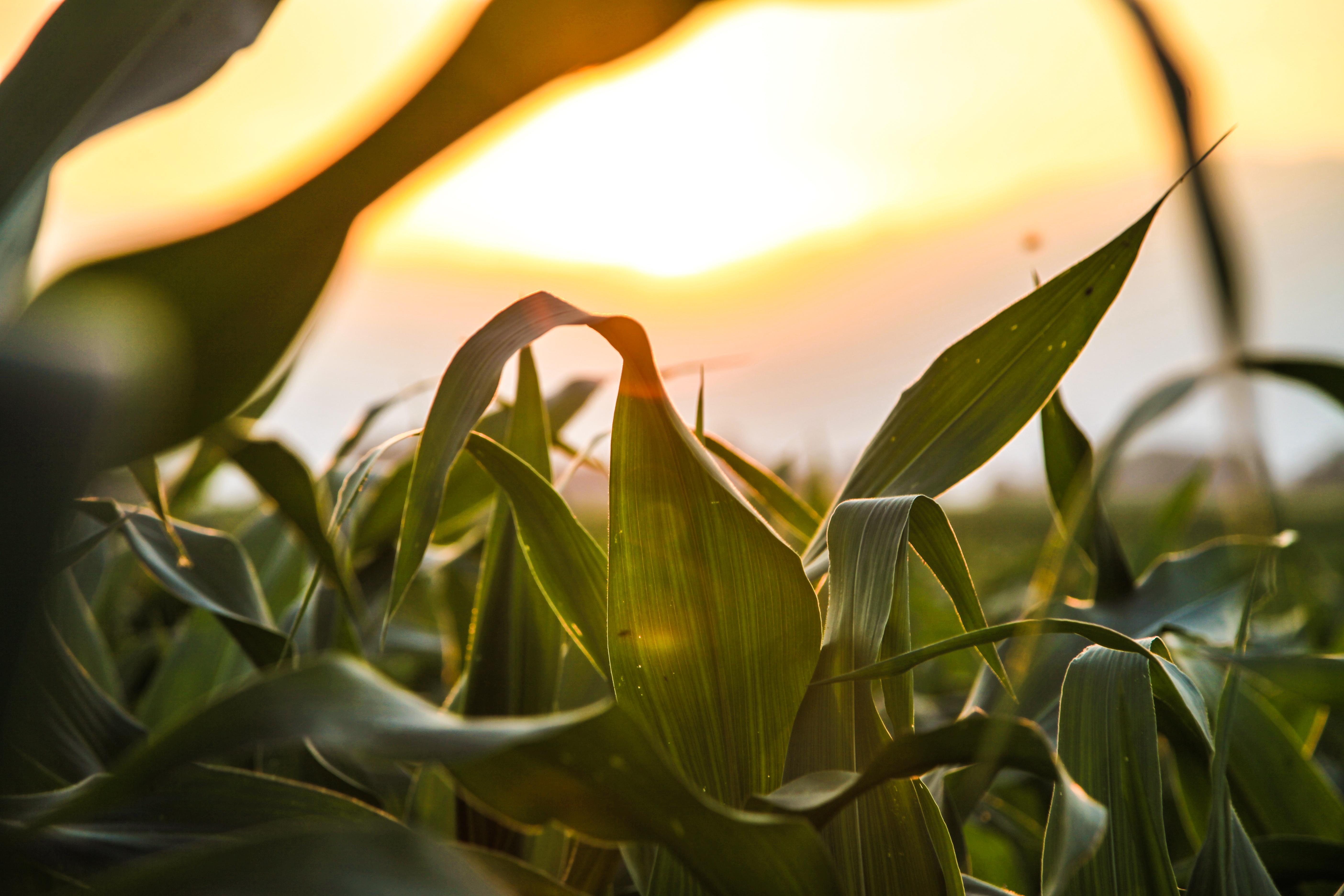 A-SMYLE/FLEX program: Prelep prizor kukurznih polja izjutra